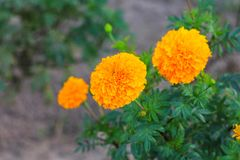 fioritura gialla del fiore del tagete bella in giardino (tagetes ere Fotografie Stock