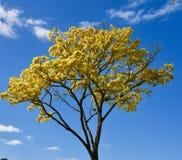 Fioritura gialla dell'albero di doccia dorata sull'isola delle Hawai immagine stock