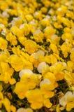 Fioritura gialla della petunia Fotografie Stock