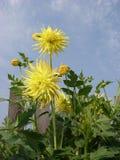 Fioritura gialla delle dalie dei fiori Fotografia Stock Libera da Diritti