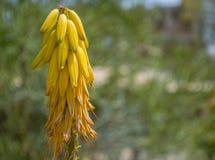 Fioritura gialla di vera dell'aloe Immagini Stock