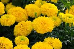 Fioritura giallo arancione del fiore del tagete bella in erecta di tagetes del giardino, tagete messicano, tagete azteco, tagete  Immagine Stock