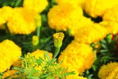 Fioritura giallo arancione del fiore del tagete bella in erecta di tagetes del giardino, tagete messicano, tagete azteco, tagete  Fotografie Stock Libere da Diritti