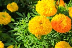 Fioritura giallo arancione del fiore del tagete bella in giardino: Selezioni il fuoco con profondità di campo bassa Erecta di tag Fotografie Stock