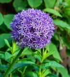 Fioritura gigante del fiore della cipolla (allium Giganteum) Fotografia Stock