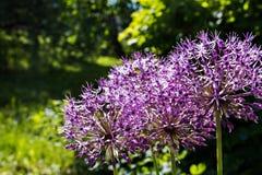 Fioritura gigante di Giganteum dell'allium della cipolla Poche palle dei fiori sboccianti dell'allium Immagini Stock