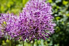 Fioritura gigante di Giganteum dell'allium della cipolla Poche palle dei fiori sboccianti dell'allium Immagine Stock