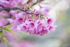 Fioritura himalayana selvaggia della ciliegia Fotografia Stock