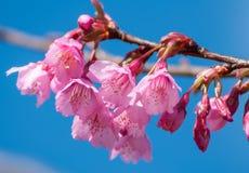 Fioritura himalayana selvaggia della ciliegia Fotografie Stock Libere da Diritti