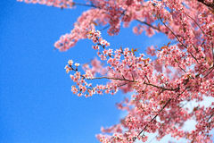 Fioritura himalayana selvaggia della ciliegia (cerasoides del Prunus) Fotografia Stock Libera da Diritti