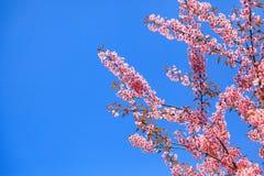 Fioritura himalayana selvaggia della ciliegia (cerasoides del Prunus) Immagini Stock Libere da Diritti