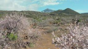 Fioritura iniziale della molla dei mandorli nella valle della radice di un'isola vulcanica video d archivio