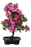 Fioritura isolata del rododendro dei bonsai Immagini Stock