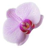 Fioritura isolata dell'orchidea Fotografia Stock