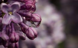 Fioritura lilla, fine su di goccia di acqua Fotografie Stock Libere da Diritti