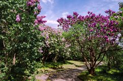 Fioritura lilla nel giardino fotografie stock libere da diritti
