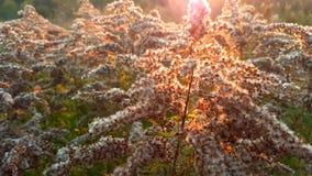 Fioritura morbida delle piante selvatiche Fotografia Stock
