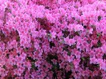 Fioritura pallida - rododendro rosa immagini stock libere da diritti