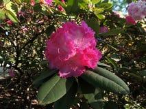 Fioritura pallida - rododendro rosa fotografie stock