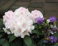 Fioritura pallida - rododendro rosa fotografie stock libere da diritti