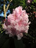 Fioritura pallida - rododendro rosa immagine stock libera da diritti
