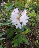 Fioritura pallida - rododendro rosa fotografia stock libera da diritti