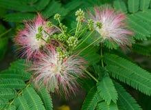 Fioritura persiana dell'albero di seta Fotografia Stock