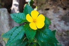 Fioritura piena del fiore giallo con la foglia verde nel giardino immagine stock
