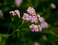 Fioritura porpora dei fiori Fotografia Stock Libera da Diritti