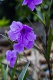 Fioritura porpora schioccante del fiore del baccello di mattina Fotografie Stock