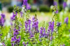 Fioritura prudente di porpora del fiore di Salvia immagine stock libera da diritti