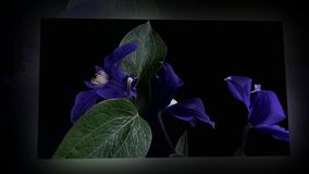 Fioritura rapida del fiore blu video d archivio