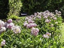 Fioritura rosa-chiaro dei fiori della peonia fotografia stock