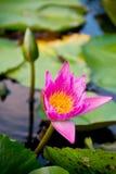 Fioritura rosa del fiore di loto immagine stock libera da diritti