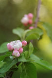 Fioritura rosa del fiore e dei germogli della mela Fotografia Stock