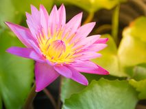 Fioritura rosa del loto nello stagno fotografie stock libere da diritti