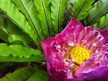 Fioritura rosa del loto sacro Immagini Stock Libere da Diritti