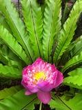Fioritura rosa del loto sacro Immagini Stock