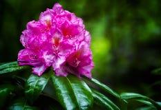 Fioritura rosa del rododendro Fotografie Stock Libere da Diritti