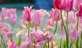 Fioritura rosa del tulipano in primavera immagini stock libere da diritti