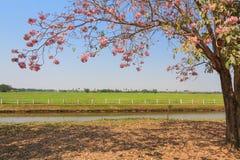 Fioritura rosa dell'albero di tromba Immagini Stock Libere da Diritti