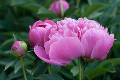 fioritura rosa delle peonie fotografia stock