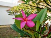 Fioritura rosa di plumeria di mattina immagine stock