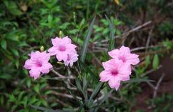 Fioritura rosa dolce variopinta di tuberosa di ruellia o del waterkanon e fiore del germoglio in giardino, inflorescenza rosa qua fotografie stock