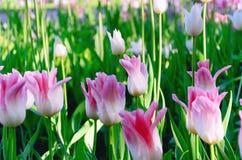 Fioritura rosa e bianca dei tulipani Fotografie Stock Libere da Diritti