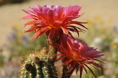 Fioritura rosa favolosa del cactus Fotografia Stock Libera da Diritti