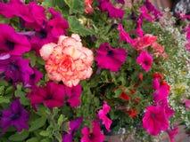 Fioritura rossa bianca del fiore circondata dai fiori della petunia Immagine Stock Libera da Diritti