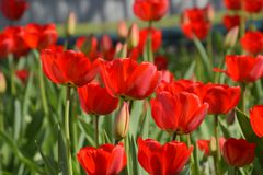 Fioritura rossa dei tulipani nell'aiola Fioritura dei tulipani Immagine Stock
