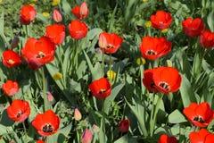 Fioritura rossa dei tulipani nell'aiola Fioritura dei tulipani Fotografie Stock