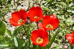 Fioritura rossa dei tulipani nell'aiola Fioritura dei tulipani Immagine Stock Libera da Diritti